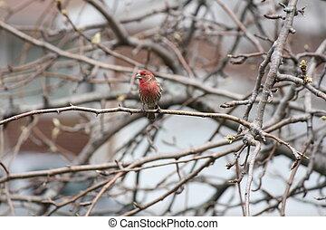 House Finch (Carpodacus mexicanus) on tree Branch near a...