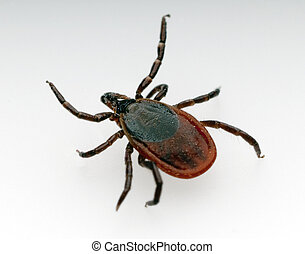 Deer tick on a white background
