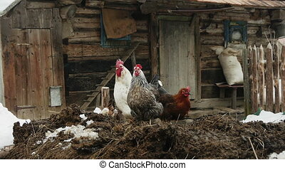 Poultry in the yard of an old wooden house in the Carpathian...