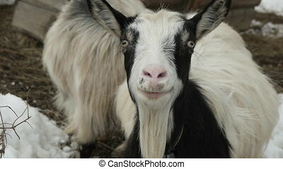 Funny goat with a bell on his neck in the yard with other animals. Carpathians, Ukraine.