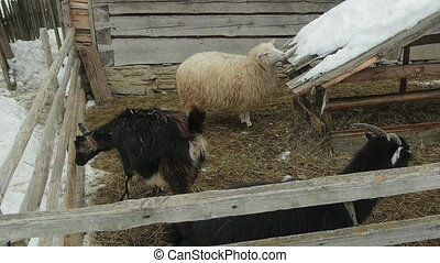 Farm animals in the courtyard. Carpathians, Ukraine.