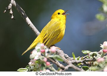 Yellow Warbler Dendroica petechia on a branch in early...