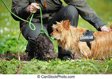 Australian Terrier - Pured Australian Terrier dog outside on...