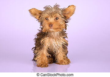 Yorkshire Terrier puppy standing in studio looking inquisitive on pink background