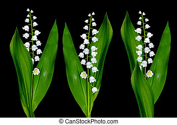 White flowers lilies of the valley