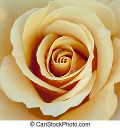 Yellow / Peach / Orange Rose - A close up of a beautiful...