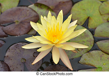 Beautiful lotus flower in pool