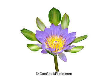 Beautiful single lotus with clipping path
