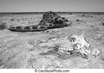 Giraffe skull - In monochrome, the skull of a giraffe and...