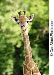 Giraffe - baby giraffe portrait over blur green background