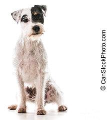 jack russel terrier sitting