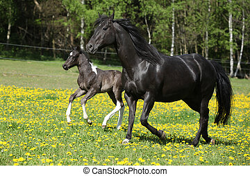 Amazing mare with foal running on springs pasturage