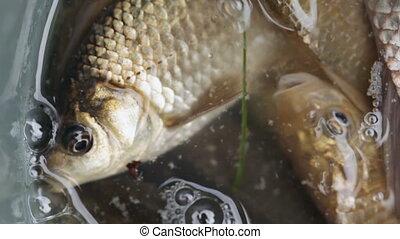Live fish in bucket