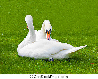 two swans in the nature of life, animal background