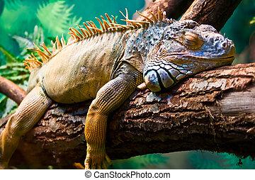 Iguana - Lazy Iguana lying along the branch