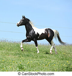 Gorgeous black and white stallion of paint horse running on...