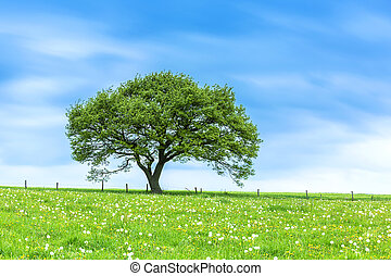 oak tree at the eifel in spring - An old oak tree in the...
