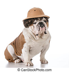 dog on safari - english bulldog wearing safari hat and wig