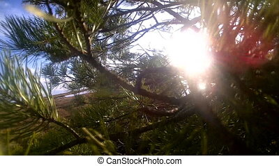 pine on the lake in sun beams at sunset - water, sun and...