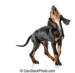 dog barking - black and tan coonhound with mouth open and...