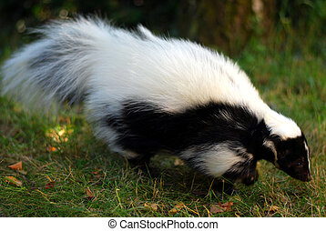 Skunk - A skunk running in the grass