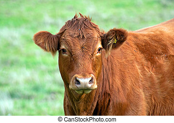 Close up of Jersey cow - Close up of a Jersey cow with a...