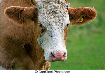 Close up of Jersey cow with flies - Close up of a Jersey cow...