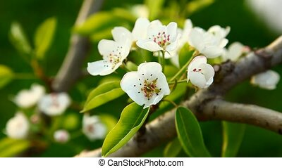 Blooming spring tree - Blooming pear tree flowers in wind
