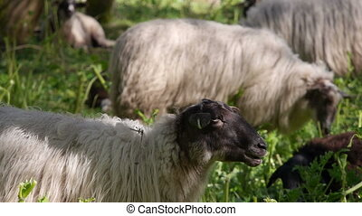 Sheep eating hogweed - A herd of sheep is used to get rid if...