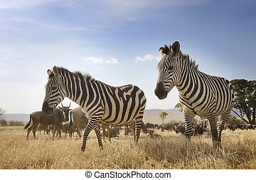 Two Zebra at the Ngorongoro crater in low angle view
