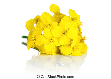 Rapeseed Flower - Rapeseed flower on white background...