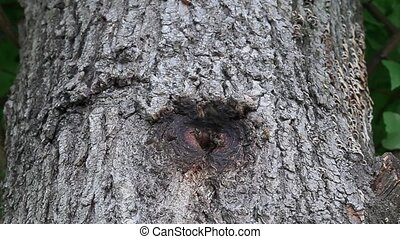 Beehive in tree hole, bees flying