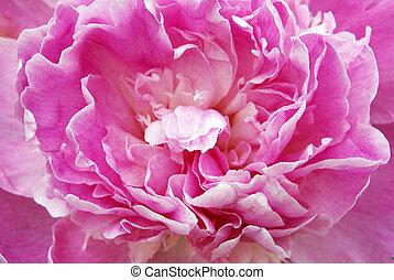 Pink Peony - Closeup shot of a beautiful pink peony.