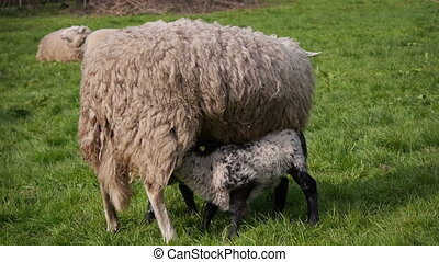 Sheep eating grass - a herd of sheep is used as alternative...