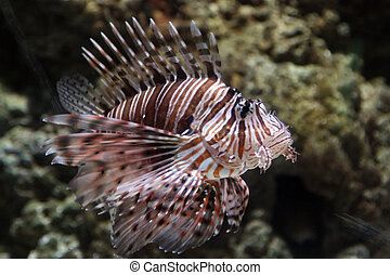 Lion Fish near corals
