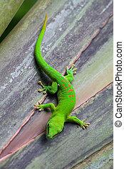 madagascar,  gecko