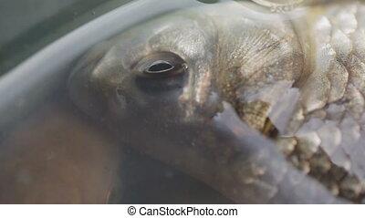 Live carp in water