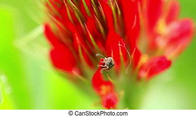 Small bug on a Crimson clover flower