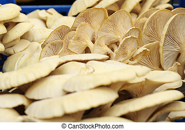 Pleurotus cornucopiae - fruiting bodies of golden oyster...
