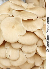 Pleurotus ostreatus - fruiting bodies of mushroom, edible...