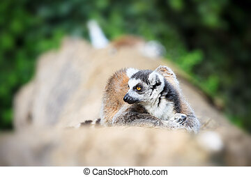 Lemur Catta Photo