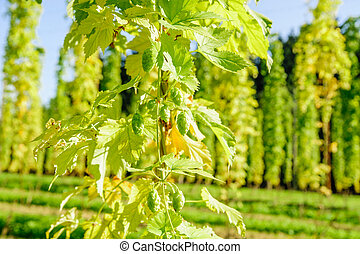 Hop Cones ready to harvesting - Fully grown hop Cones ready...