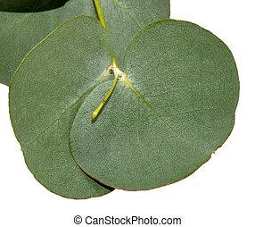 eucalipto, hojas