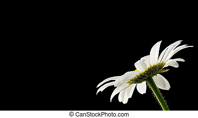 Daisy on black background - Beautiful daisy on black...