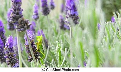 Praying Mantis - Praying mantis sits on a lavender flower...