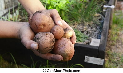 Organic Potatoes - Freshly harvested organic potatoes held...