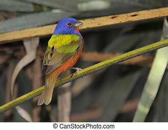 The Painted Bunting in the wetlands of south Florida