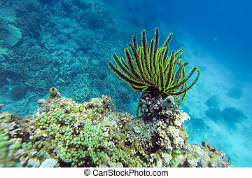 Underwater sea lily - Black and green Crinoid in a coral...
