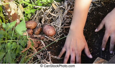 Digging Up Potatoes - Digging up fresh organic potatoes in a...