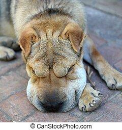 Shar Pei - A close up shot of a pet Shar Pei